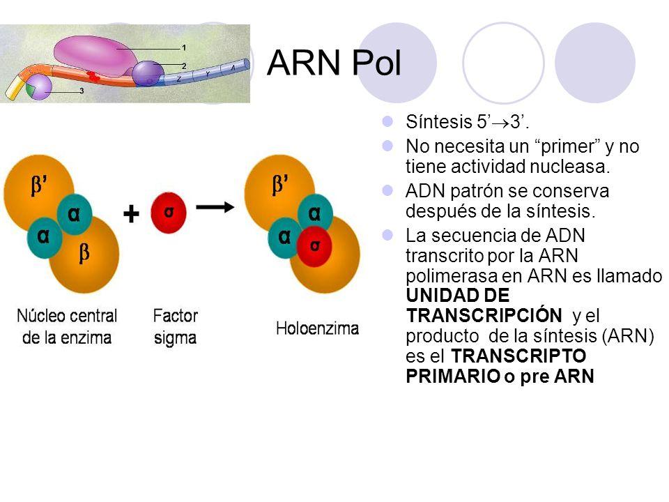 ARN Pol Síntesis 5 3. No necesita un primer y no tiene actividad nucleasa. ADN patrón se conserva después de la síntesis. La secuencia de ADN transcri