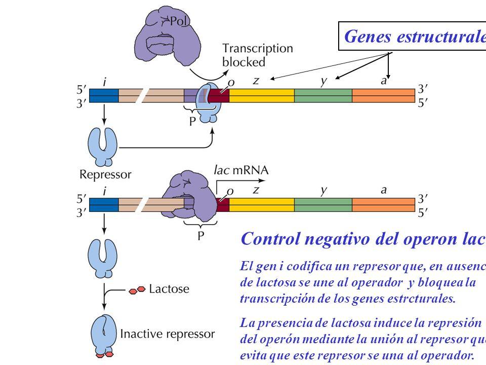 Control negativo del operon lac El gen i codifica un represor que, en ausencia de lactosa se une al operador y bloquea la transcripción de los genes e