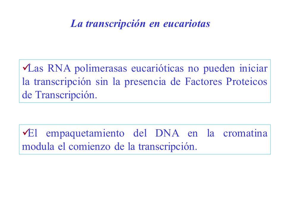 La transcripción en eucariotas Las RNA polimerasas eucarióticas no pueden iniciar la transcripción sin la presencia de Factores Proteicos de Transcrip