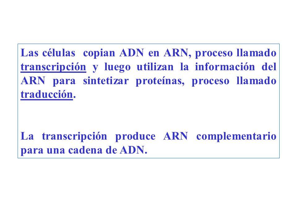 Las células copian ADN en ARN, proceso llamado transcripción y luego utilizan la información del ARN para sintetizar proteínas, proceso llamado traduc