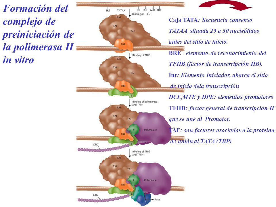 Formación del complejo de preiniciación de la polimerasa II in vitro Caja TATA: Secuencia consenso TATAA situada 25 a 30 nucleótidos antes del sitio d
