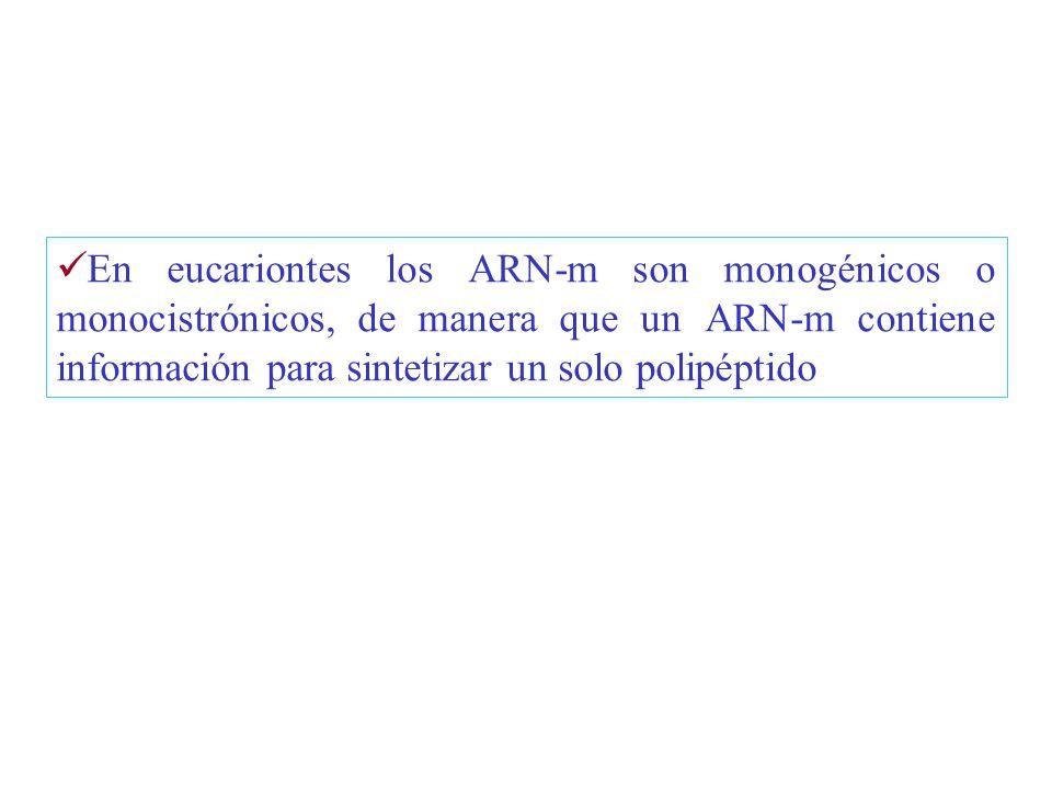 En eucariontes los ARN-m son monogénicos o monocistrónicos, de manera que un ARN-m contiene información para sintetizar un solo polipéptido