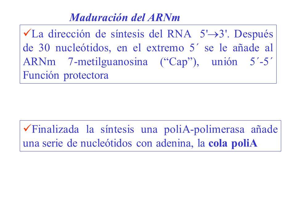 La dirección de síntesis del RNA 5' 3'. Después de 30 nucleótidos, en el extremo 5´ se le añade al ARNm 7-metilguanosina (Cap), unión 5´-5´ Función pr