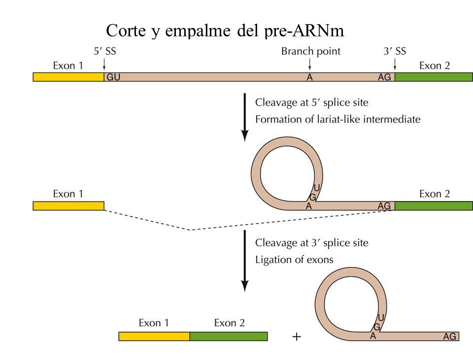 Corte y empalme del pre-ARNm