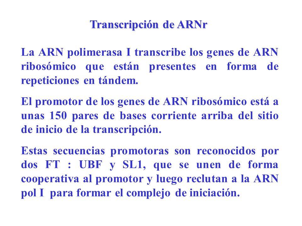 Transcripción de ARNr La ARN polimerasa I transcribe los genes de ARN ribosómico que están presentes en forma de repeticiones en tándem. El promotor d