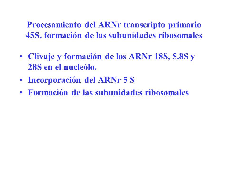 Procesamiento del ARNr transcripto primario 45S, formación de las subunidades ribosomales Clivaje y formación de los ARNr 18S, 5.8S y 28S en el nucleó