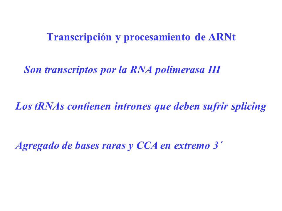 Transcripción y procesamiento de ARNt Son transcriptos por la RNA polimerasa III Los tRNAs contienen intrones que deben sufrir splicing Agregado de ba