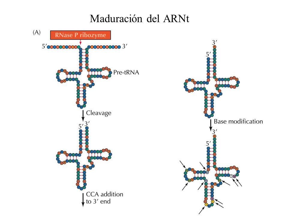 Maduración del ARNt