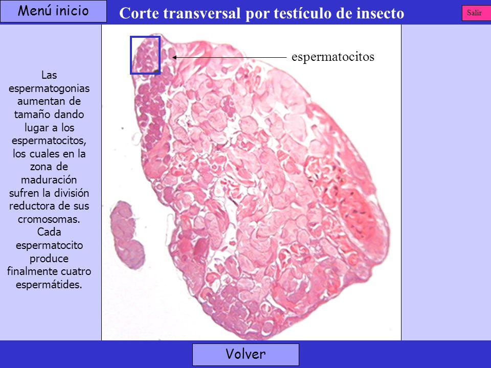 Corte transversal por testículo de insecto Las espermatogonias aumentan de tamaño dando lugar a los espermatocitos, los cuales en la zona de maduració