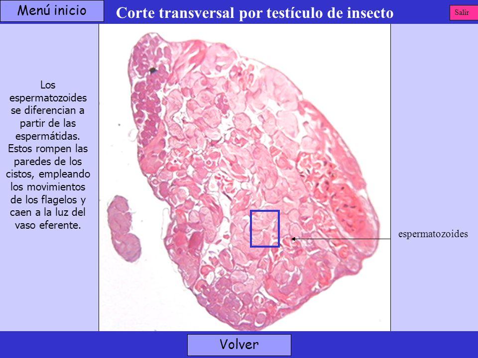 Corte transversal por testículo de insecto espermatozoides Volver Los espermatozoides se diferencian a partir de las espermátidas. Estos rompen las pa