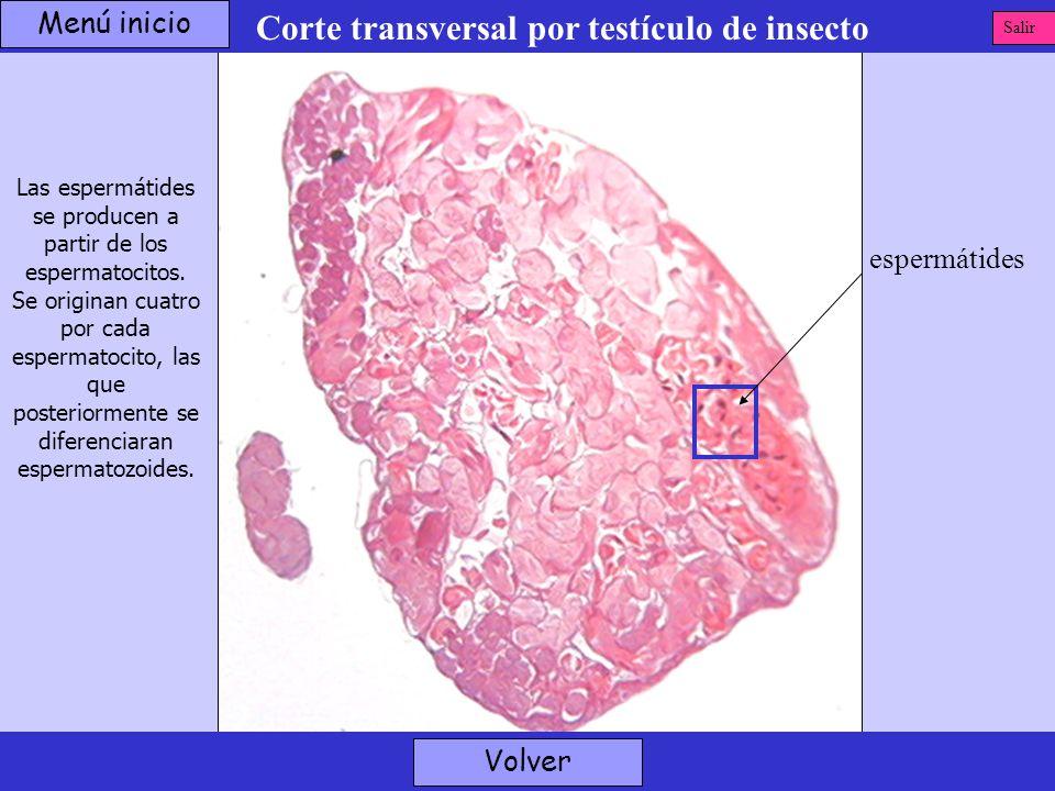 Corte transversal por testículo de insecto espermátides Volver Las espermátides se producen a partir de los espermatocitos. Se originan cuatro por cad