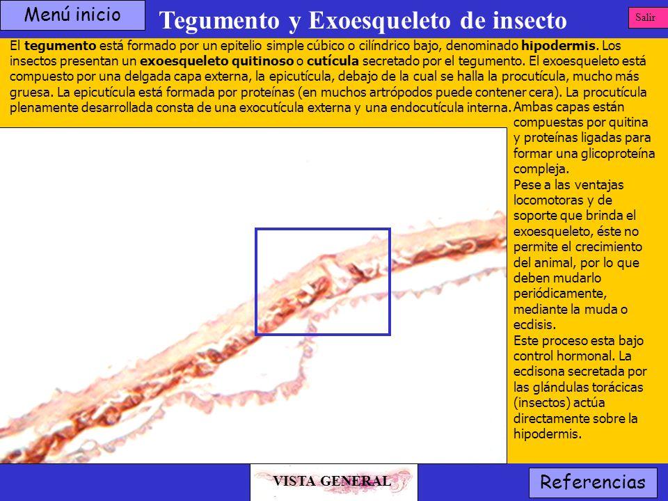 Tegumento y Exoesqueleto de insecto VISTA GENERAL Salir Referencias El tegumento está formado por un epitelio simple cúbico o cilíndrico bajo, denomin