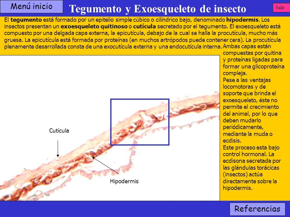 Tegumento y Exoesqueleto de insecto Hipodermis Cutícula El tegumento está formado por un epitelio simple cúbico o cilíndrico bajo, denominado hipoderm
