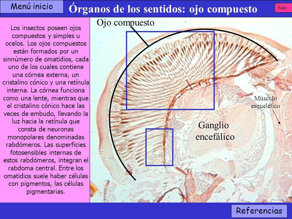 Órganos de los sentidos: ojo compuesto Los insectos poseen ojos compuestos y simples u ocelos. Los ojos compuestos están formados por un sinnúmero de