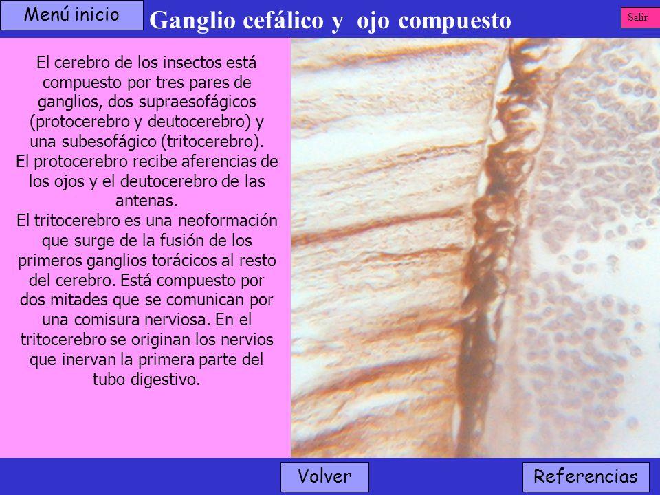 Ganglio cefálico y ojo compuesto Volver El cerebro de los insectos está compuesto por tres pares de ganglios, dos supraesofágicos (protocerebro y deut