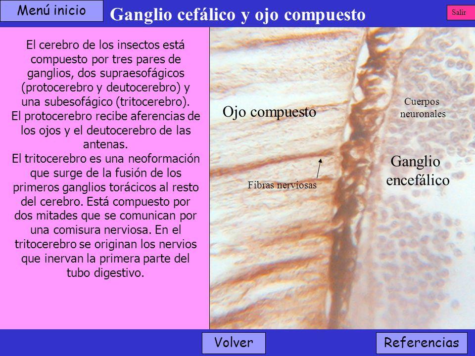 Ganglio cefálico y ojo compuesto Volver Ganglio encefálico Ojo compuesto Cuerpos neuronales El cerebro de los insectos está compuesto por tres pares d