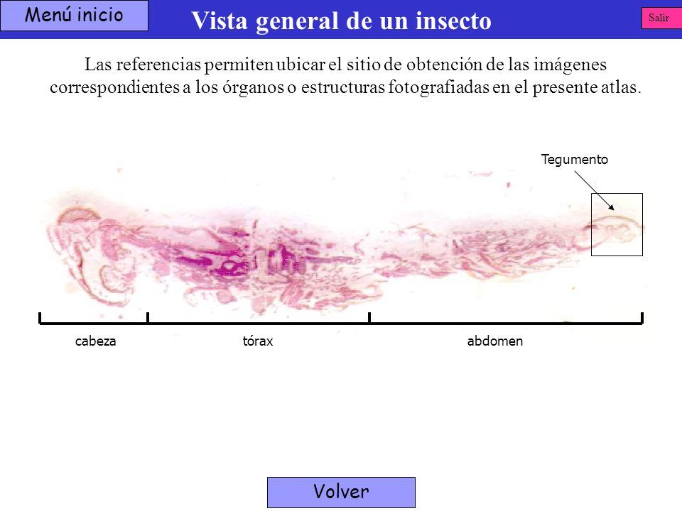 Tegumento Vista general de un insecto Menú inicio Las referencias permiten ubicar el sitio de obtención de las imágenes correspondientes a los órganos