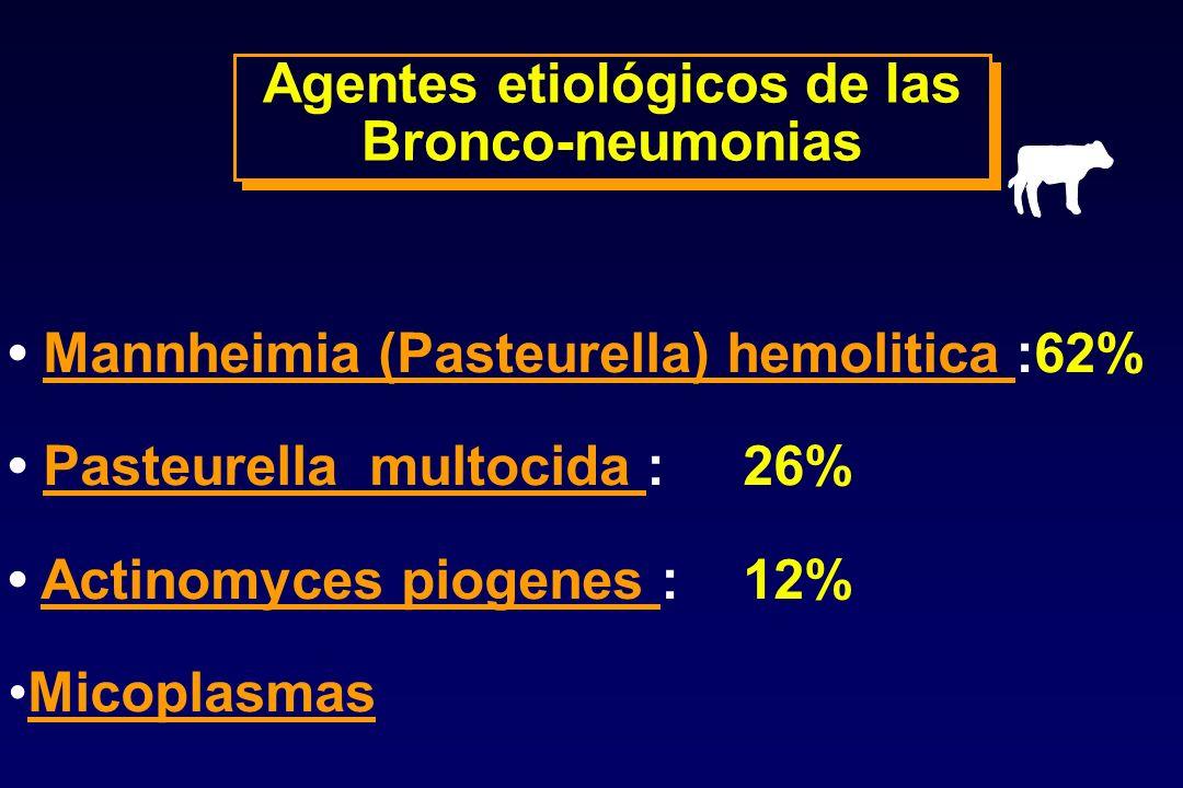 Agentes etiológicos de las Bronco-neumonias Agentes etiológicos de las Bronco-neumonias Mannheimia (Pasteurella) hemolitica :62%Mannheimia (Pasteurell