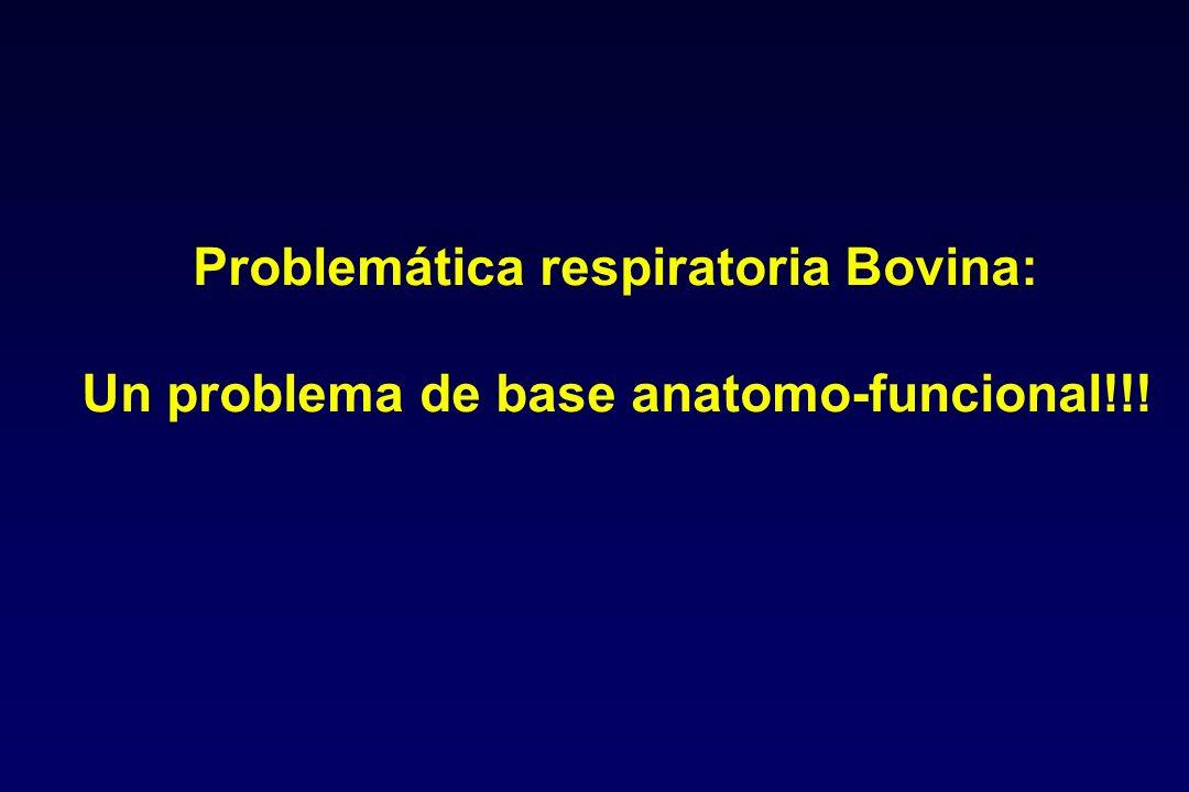 Problemática respiratoria Bovina: Un problema de base anatomo-funcional!!!