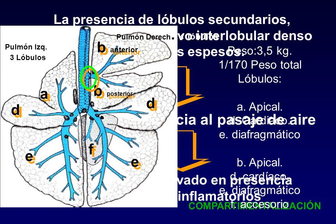 La presencia de lóbulos secundarios, pleuras, tejido conjuntivo interlobular denso y de pliegues espesos. Importante resistencia al pasaje de aire Fue