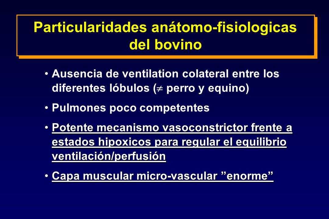 Particularidades anátomo-fisiologicas del bovino Ausencia de ventilation colateral entre los diferentes lóbulos ( perro y equino) Pulmones poco compet