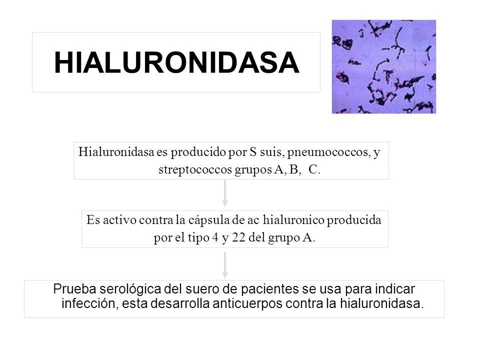 HIALURONIDASA Prueba serológica del suero de pacientes se usa para indicar infección, esta desarrolla anticuerpos contra la hialuronidasa. Hialuronida