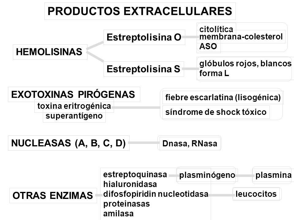 PRODUCTOS EXTRACELULARES HEMOLISINAS Estreptolisina O Estreptolisina S citolítica membrana-colesterol ASO glóbulos rojos, blancos forma L toxina eritr