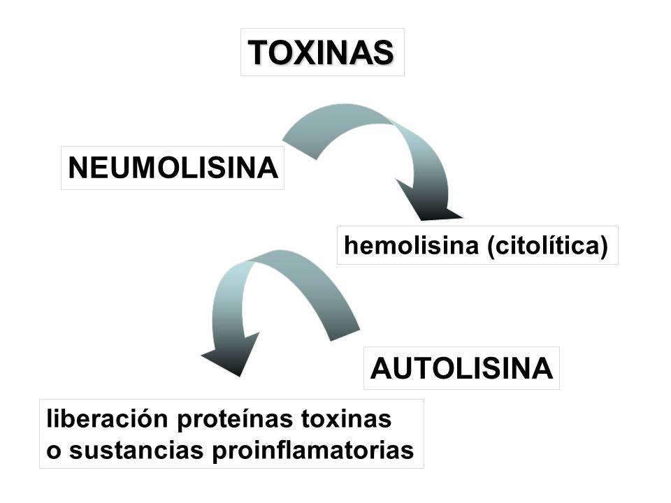 TOXINAS NEUMOLISINA AUTOLISINA hemolisina (citolítica) liberación proteínas toxinas o sustancias proinflamatorias
