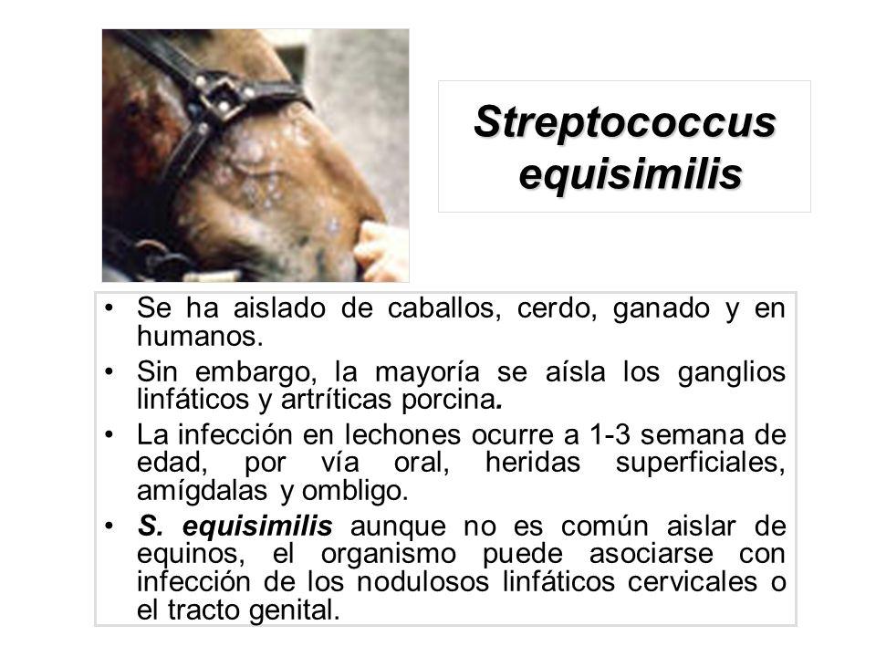 Streptococcus equisimilis Se ha aislado de caballos, cerdo, ganado y en humanos. Sin embargo, la mayoría se aísla los ganglios linfáticos y artríticas