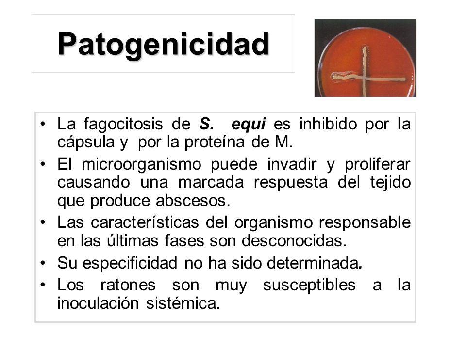 Patogenicidad La fagocitosis de S. equi es inhibido por la cápsula y por la proteína de M. El microorganismo puede invadir y proliferar causando una m