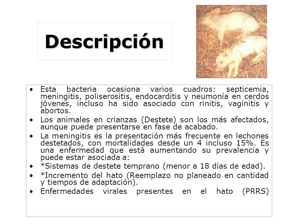 Descripción Esta bacteria ocasiona varios cuadros: septicemia, meningitis, poliserositis, endocarditis y neumonía en cerdos jóvenes, incluso ha sido asociado con rinitis, vaginitis y abortos.