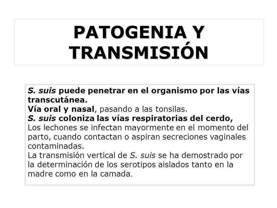 PATOGENIA Y TRANSMISIÓN S. suis puede penetrar en el organismo por las vías transcutánea. Vía oral y nasal, pasando a las tonsilas. S. suis coloniza l