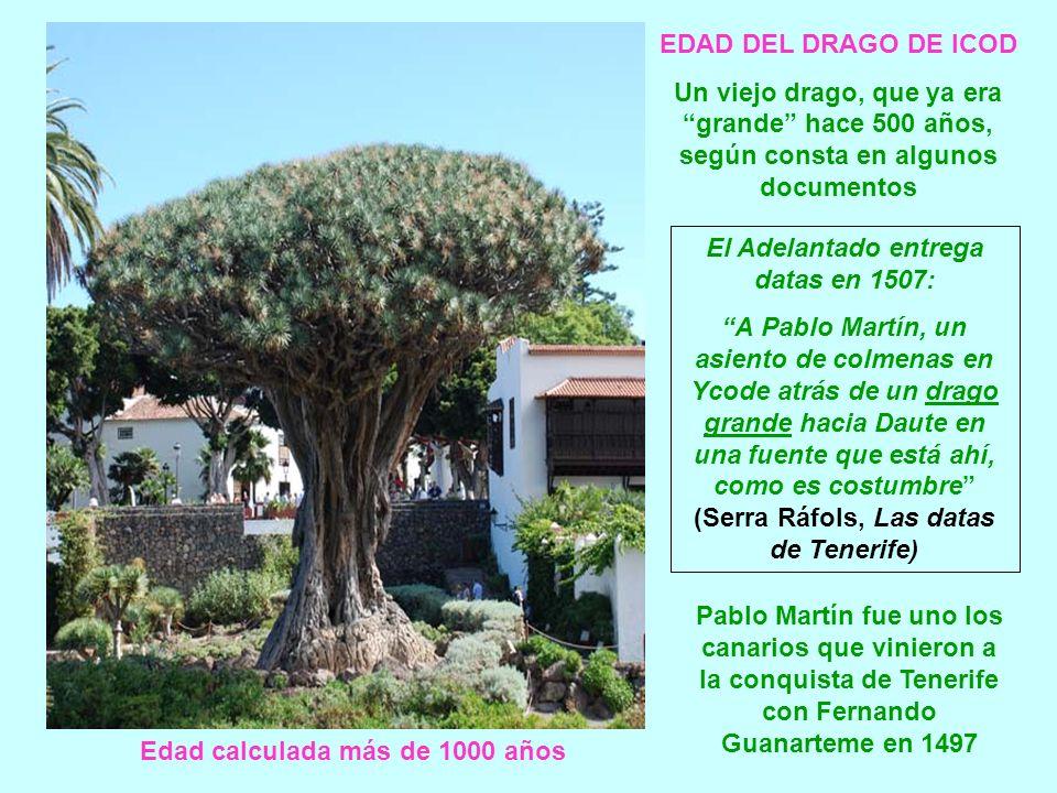 Drago de Icod (Tenerife) Casi igual 100 años después. 1900 2008