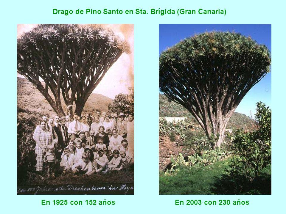 En 1930 y en la actualidad. Edad aproximada, 450 años (27 floraciones) Drago las Meleguinas (Gran Canaria). Integrado en los jardines del restaurante