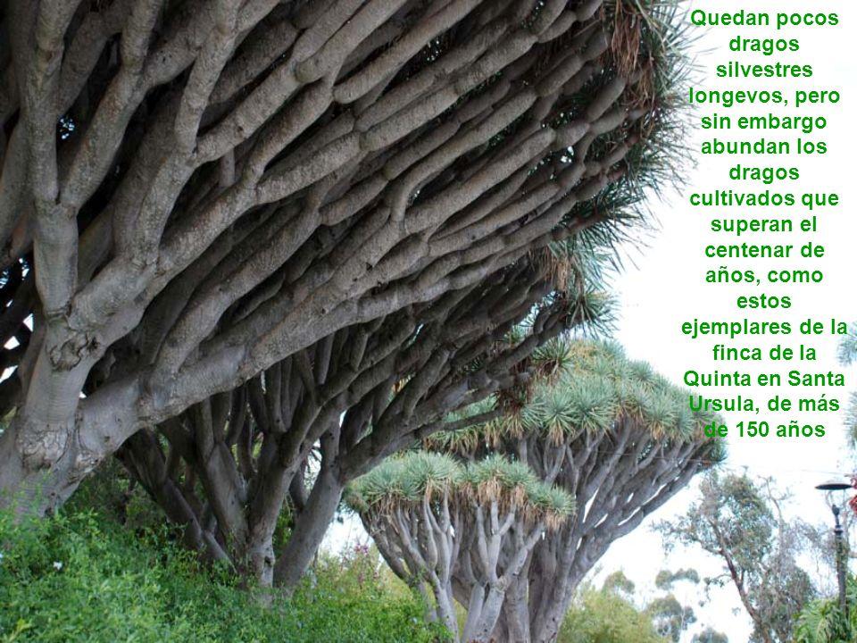 Drago de Pino Santo en Sta. Brígida (Gran Canaria) En 1925 con 152 años En 2003 con 230 años