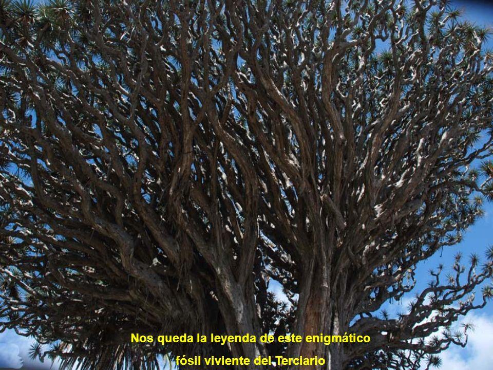 Sus hojas han servido para alimentar al ganado en épocas de escasez, extraer tintes para el pelo o elaborar sogas. Además los troncos, una vez secos y