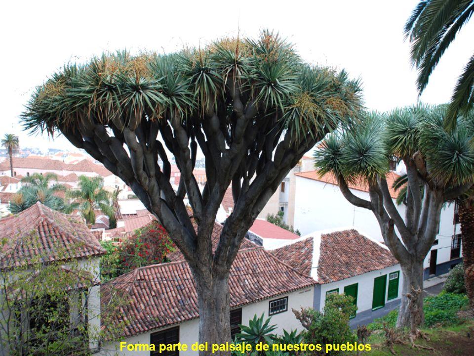 Junto con la palmera y el pino canario son los árboles emblemáticos de las Islas Canarias