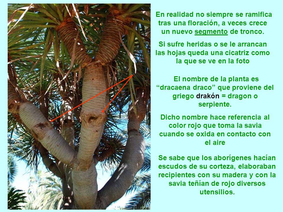 El drago no posee tronco leñoso y por tanto no se pueden leer los anillos de crecimiento, por eso la edad de un drago se calcula por los periodos de f