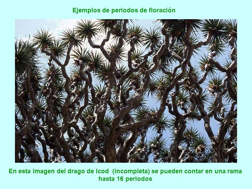 En realidad no siempre se ramifica tras una floración, a veces crece un nuevo segmento de tronco. Si sufre heridas o se le arrancan las hojas queda un