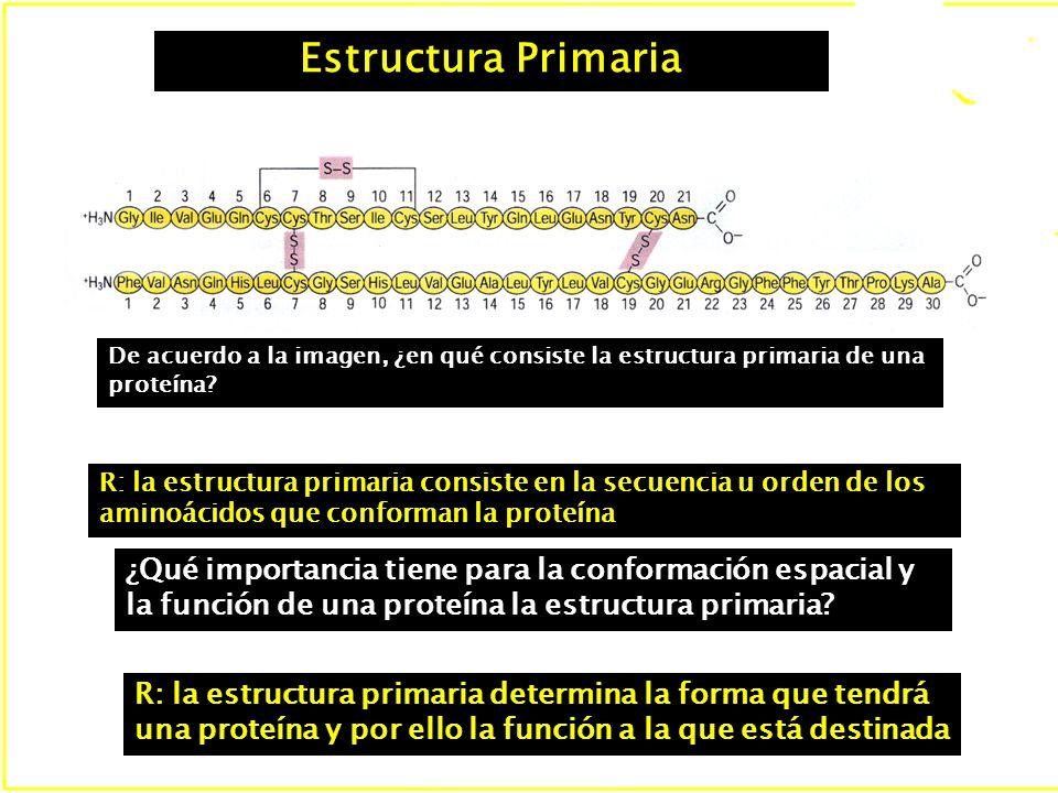 Estructura Primaria De acuerdo a la imagen, ¿en qué consiste la estructura primaria de una proteína.
