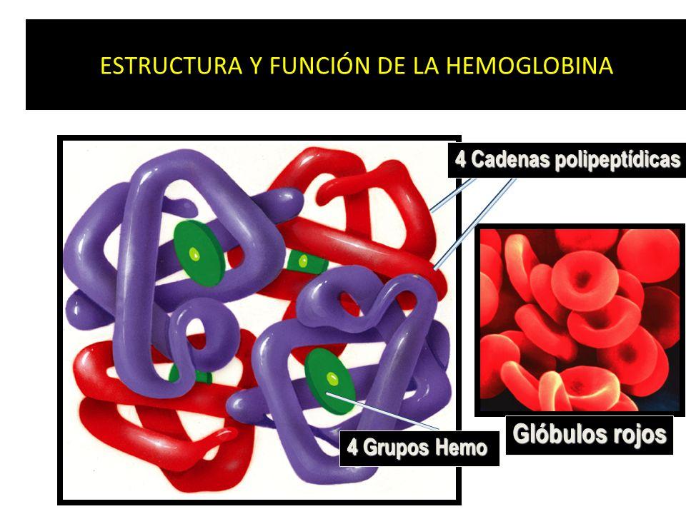 ESTRUCTURA Y FUNCIÓN DE LA HEMOGLOBINA 4 Cadenas polipeptídicas 4 Grupos Hemo Glóbulos rojos