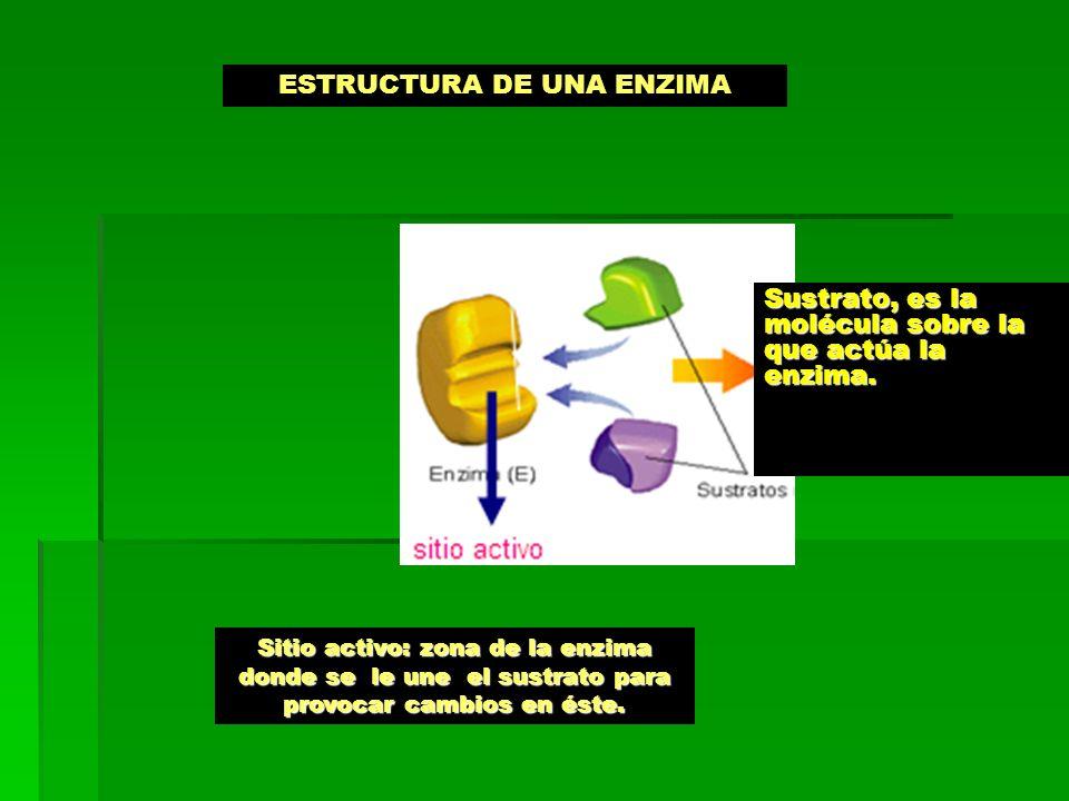ESTRUCTURA DE UNA ENZIMA Sitio activo: zona de la enzima donde se le une el sustrato para provocar cambios en éste.