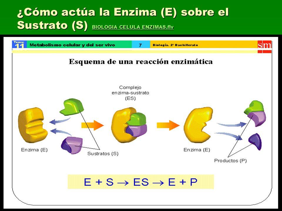 ¿Cómo actúa la Enzima (E) sobre el Sustrato (S) BIOLOGIA CELULA ENZIMAS.flv BIOLOGIA CELULA ENZIMAS.flv BIOLOGIA CELULA ENZIMAS.flv