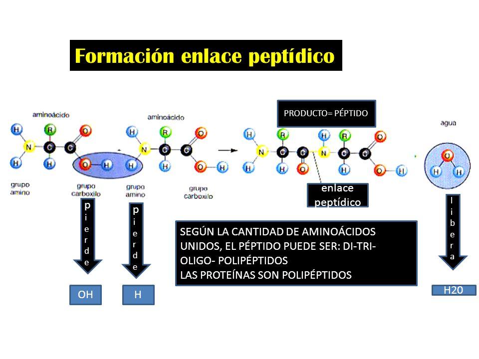 Formación enlace peptídico pierdepierde pierdepierde OHH liberalibera H20 PRODUCTO= PÉPTIDO SEGÚN LA CANTIDAD DE AMINOÁCIDOS UNIDOS, EL PÉPTIDO PUEDE SER: DI-TRI- OLIGO- POLIPÉPTIDOS LAS PROTEÍNAS SON POLIPÉPTIDOS enlace peptídico