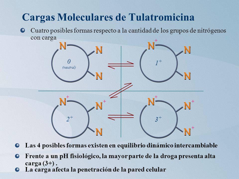 Cargas Moleculares de Tulatromicina Cuatro posibles formas respecto a la cantidad de los grupos de nitrógenos con carga 0 (neutral) 1 + + 2 + + + 3 + + + + Las 4 posibles formas existen en equilibrio dinámico intercambiable Frente a un pH fisiológico, la mayor parte de la droga presenta alta carga (3+).