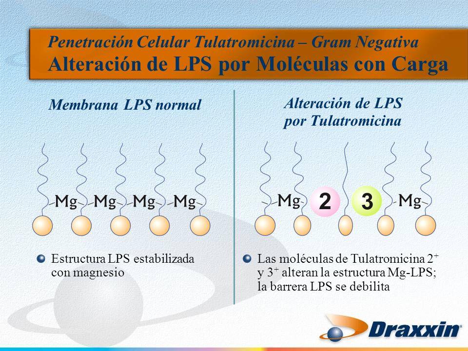 Penetración Celular Tulatromicina – Gram Negativa Alteración de LPS por Moléculas con Carga Estructura LPS estabilizada con magnesio Las moléculas de Tulatromicina 2 + y 3 + alteran la estructura Mg-LPS; la barrera LPS se debilita Membrana LPS normal Alteración de LPS por Tulatromicina