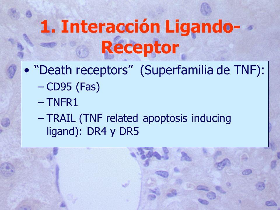 1. Interacción Ligando- Receptor Death receptors (Superfamilia de TNF): –CD95 (Fas) –TNFR1 –TRAIL (TNF related apoptosis inducing ligand): DR4 y DR5