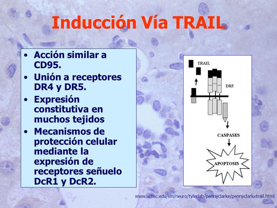 Inducción Vía TRAIL Acción similar a CD95.Unión a receptores DR4 y DR5.