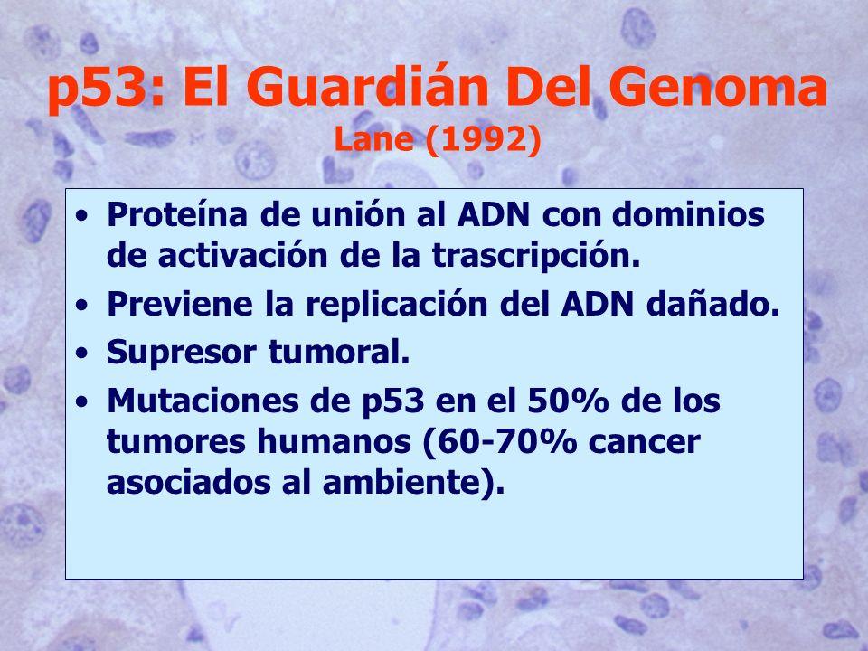 Proteína de unión al ADN con dominios de activación de la trascripción. Previene la replicación del ADN dañado. Supresor tumoral. Mutaciones de p53 en