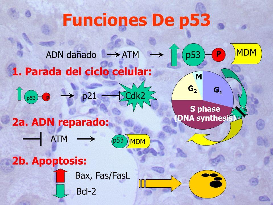 Funciones De p53 ADN dañadoATMp53 P MDM 1. Parada del ciclo celular: p21 p53P Cdk2 S phase (DNA synthesis) G2G2 G1G1 M 2a. ADN reparado: ATM p53 MDM 2